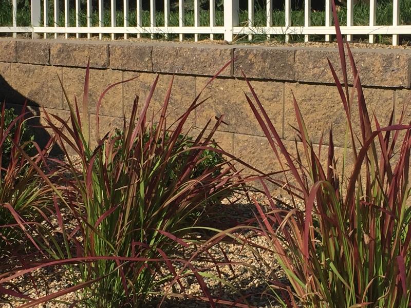 Japanese Bloodgrass and Boxwood next to modern retaining wall around swimming pool by Breaking Ground.