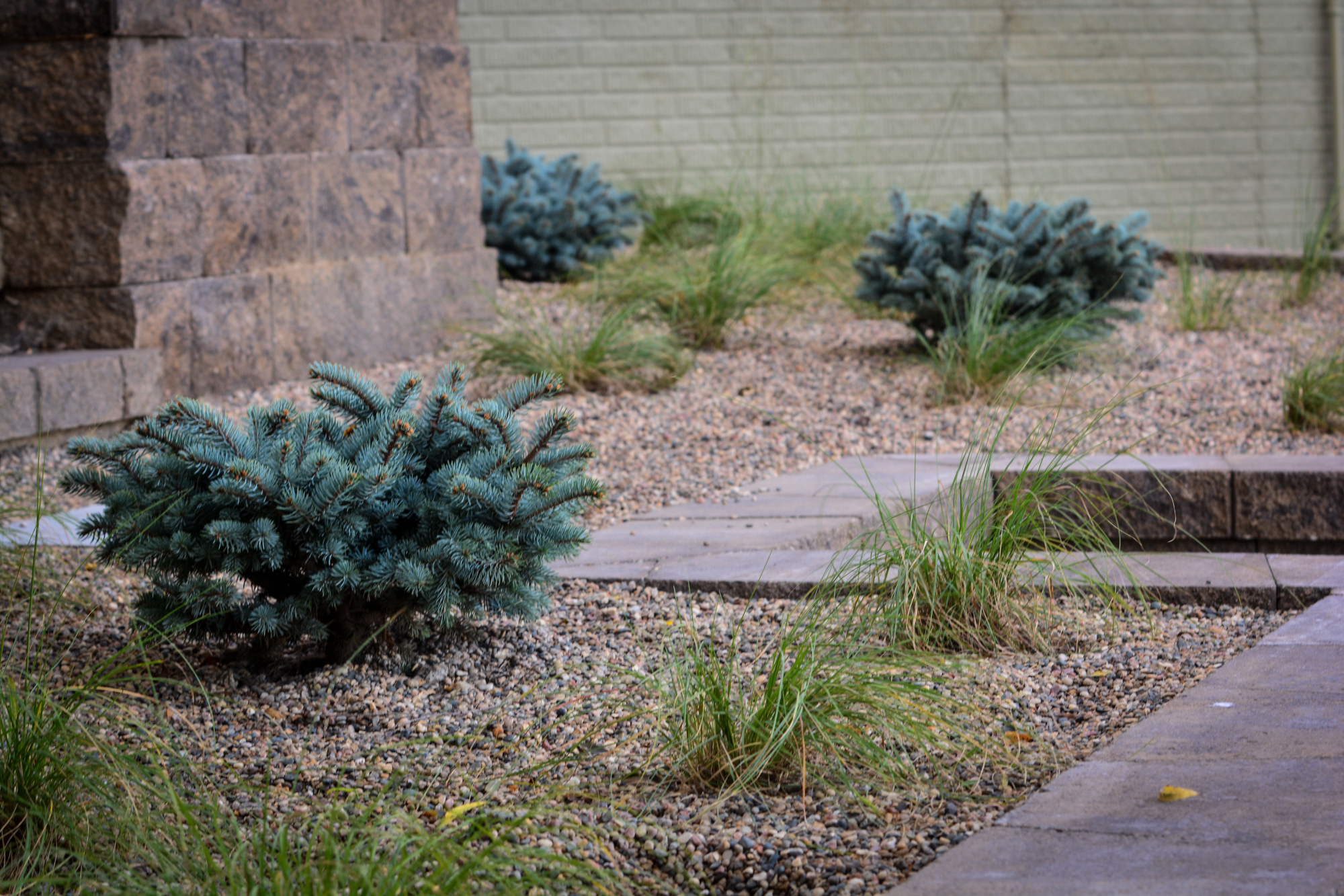 Globe blue spruce and prairie dropseed in modern landscape for Modern low maintenance plants