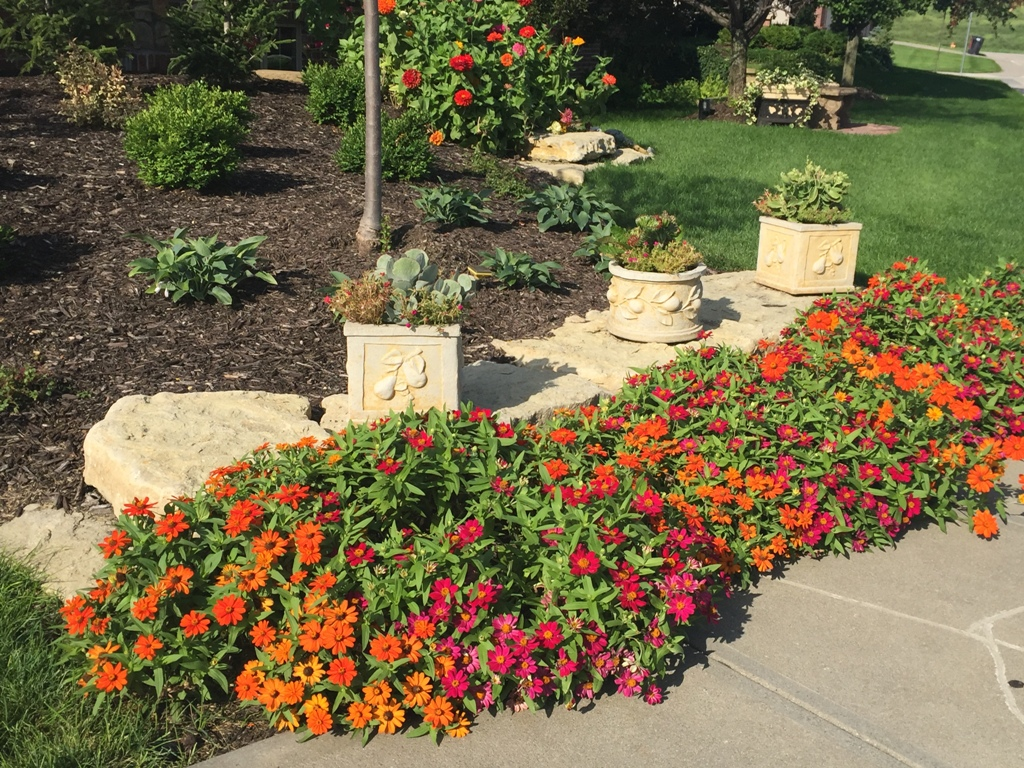 Get your landscape ready for spring. Zinnia in landscape bed.