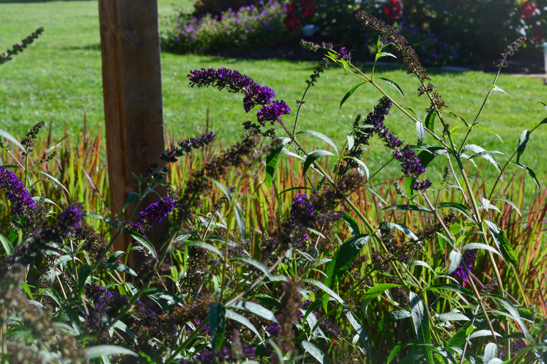 Butterfly-bush-and-Japanese-bloodgrass