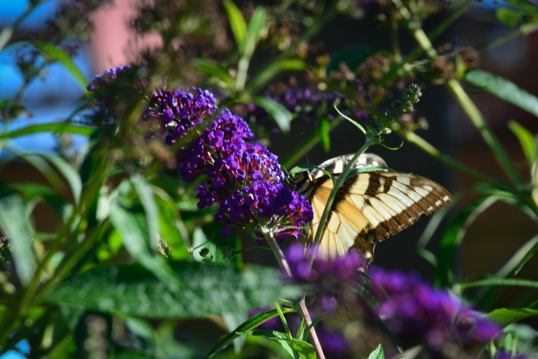 Butterfly-on-Butterfly-Bush