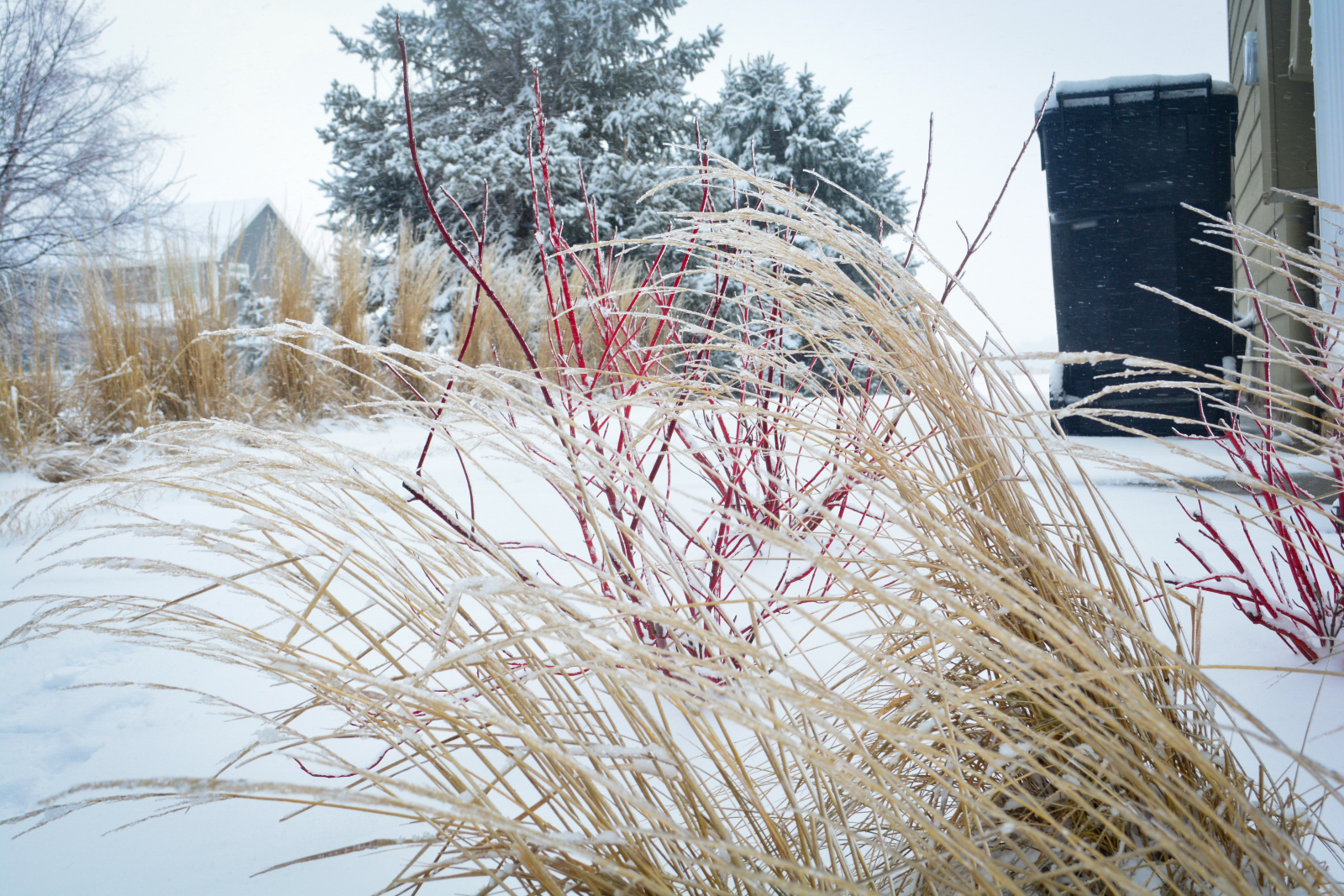 Karl-Forester-and-red-twig-dogwwod-winter