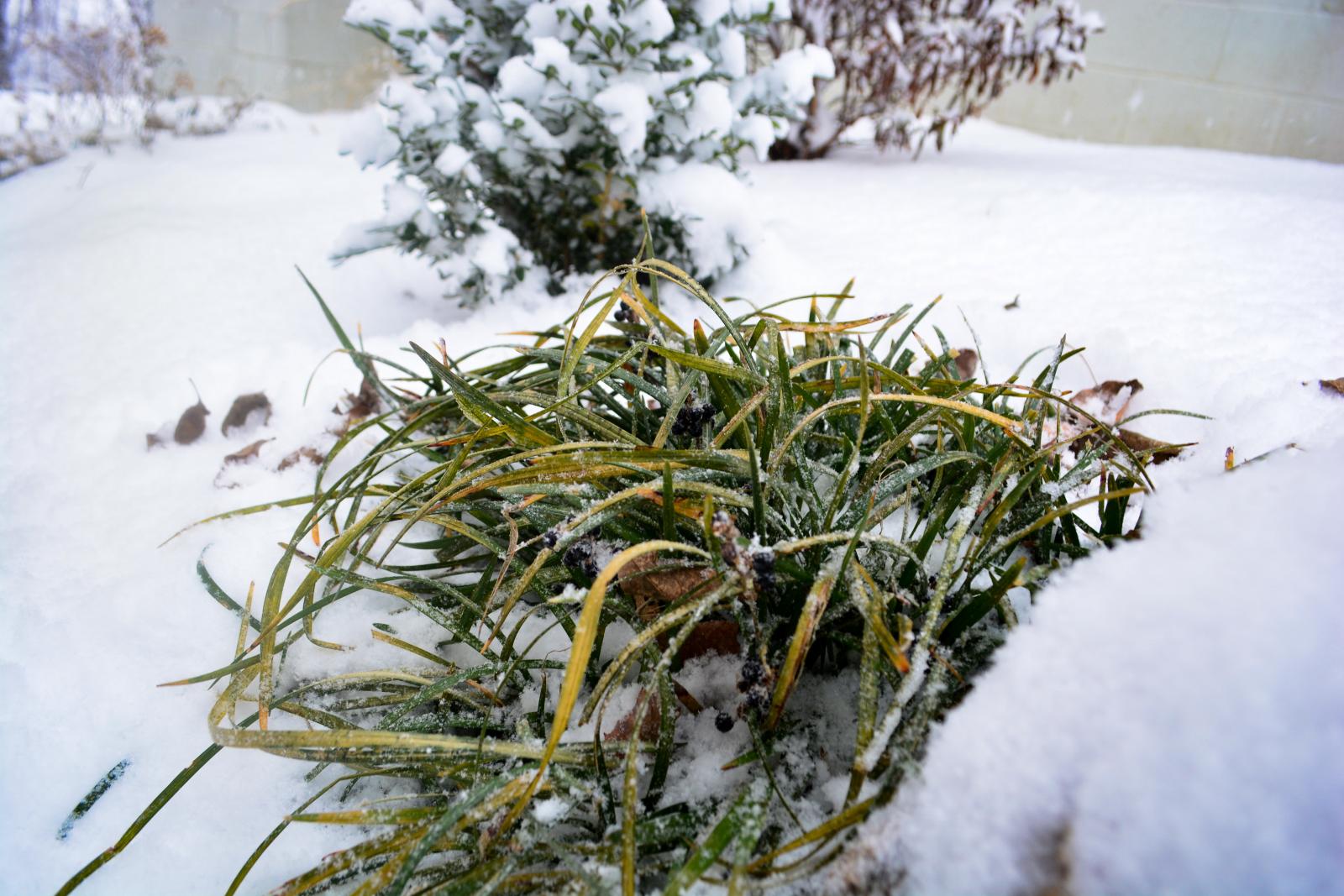 Lirope-winter