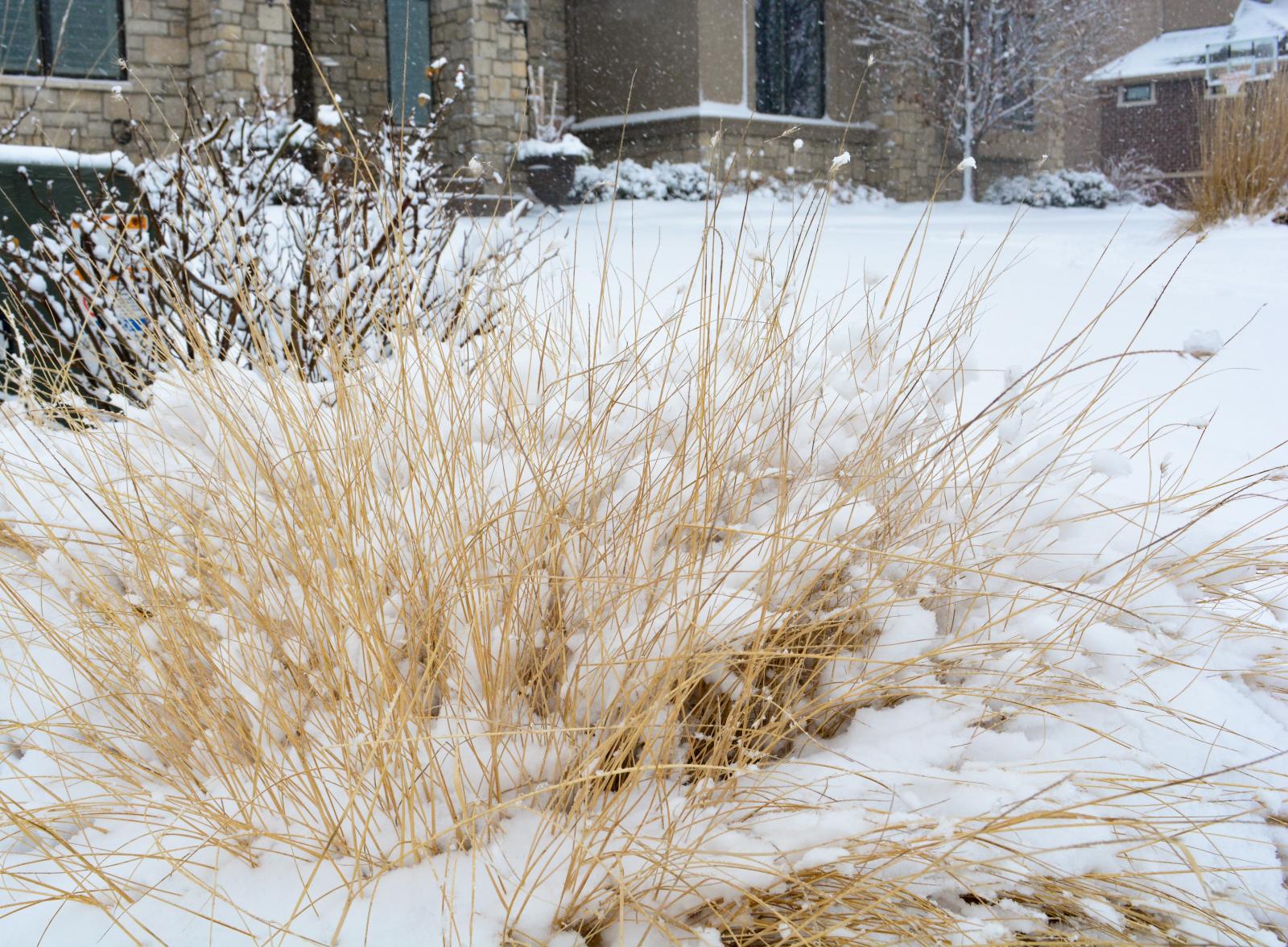 Prairie-Drop-seed-winter